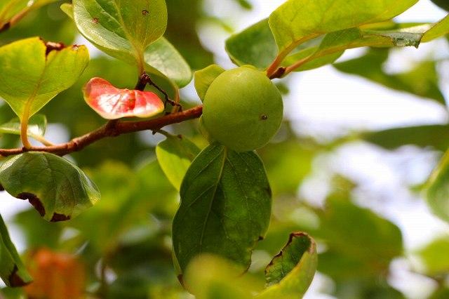 柿の実が大きくなってきた。