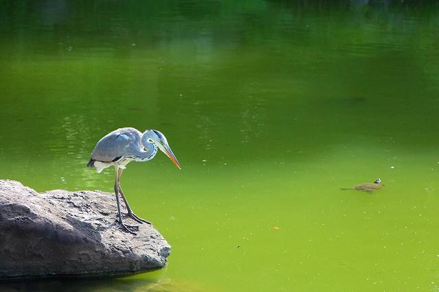 この鳥の名は?餌(小魚)を待っている
