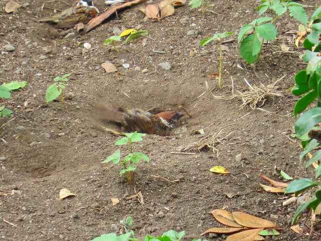 数羽の雀の砂かぶりを初めて観た