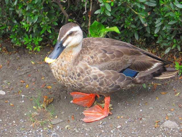 鳩、雀のそばに鴨 餌を待っていた