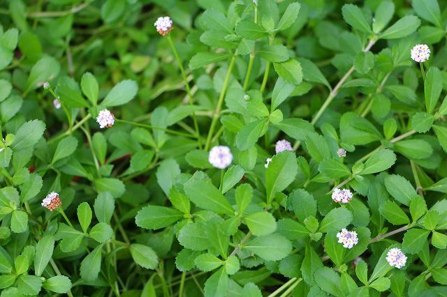 これも 雑草のかわいい花