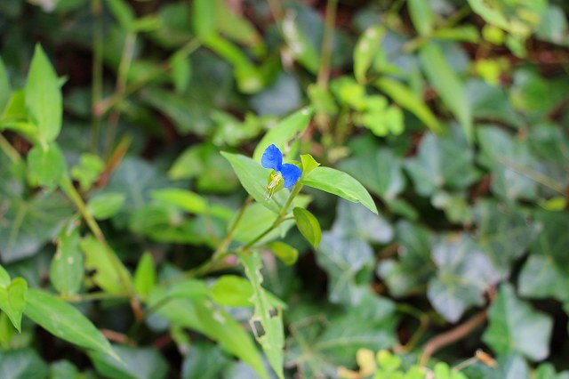 小さくて、かわいい雑草の花