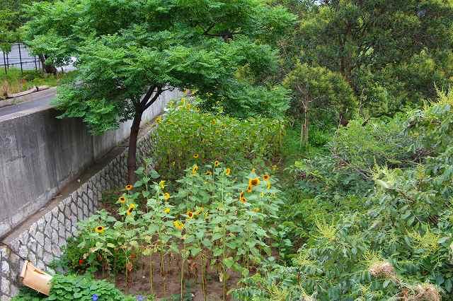 いつもの場所の向日葵畑