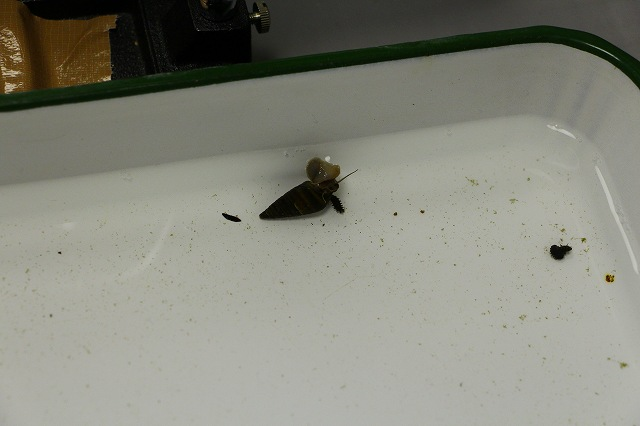 このホタルは、1年後に成虫となる えさはカワニナ