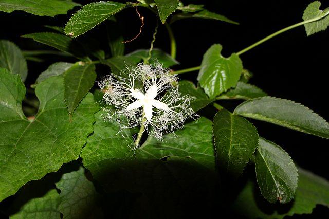 夜だけ咲く珍しい カラスウリの花