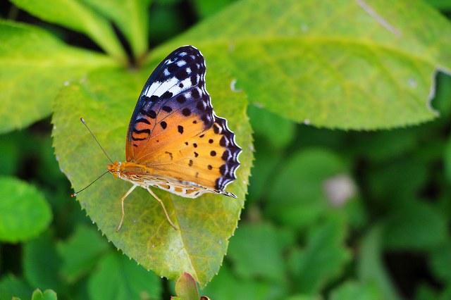 この蝶の名は、未確認です。