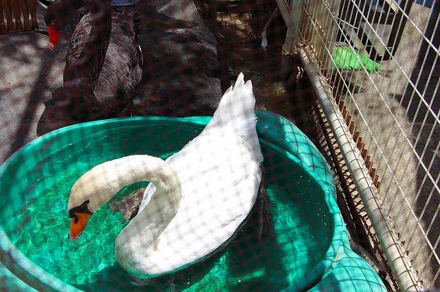 傷ついた白鳥 ここは鳥の病院