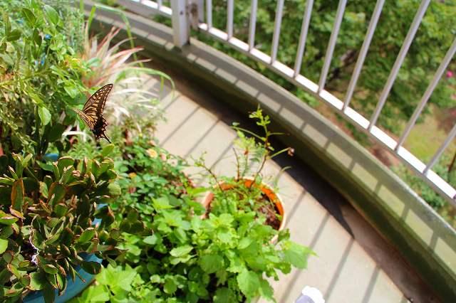 右下の鉢 山椒がアゲハの好物 全部食べられた