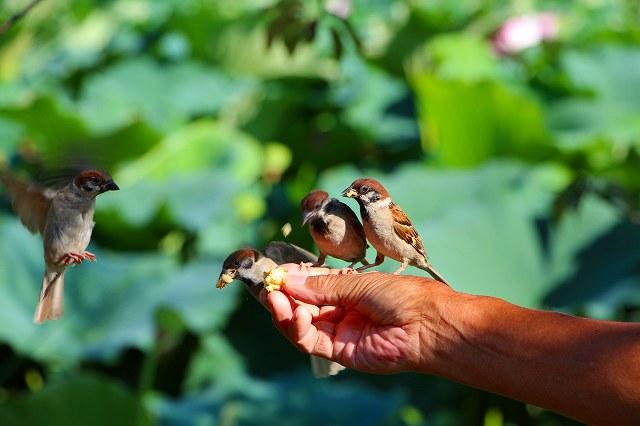 不忍池の雀 臆病者の雀だが、毎日、餌付けをしたそうだ