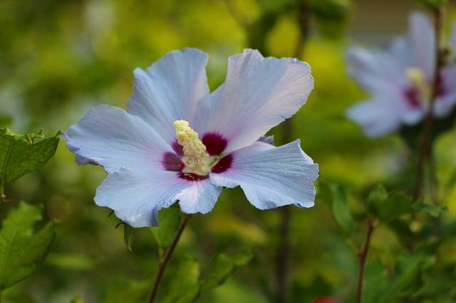 木槿(紅底 薄紫) 韓国の国花でもある。