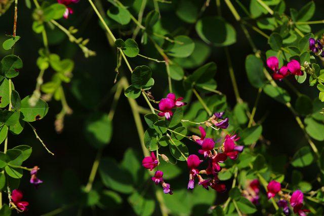 今日の一枚 ハギの花が咲いていた