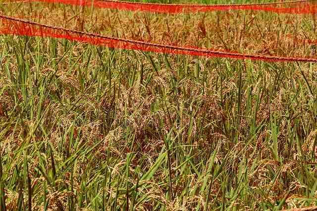 後楽園 実りの秋 文京区の小学生が田植えをした