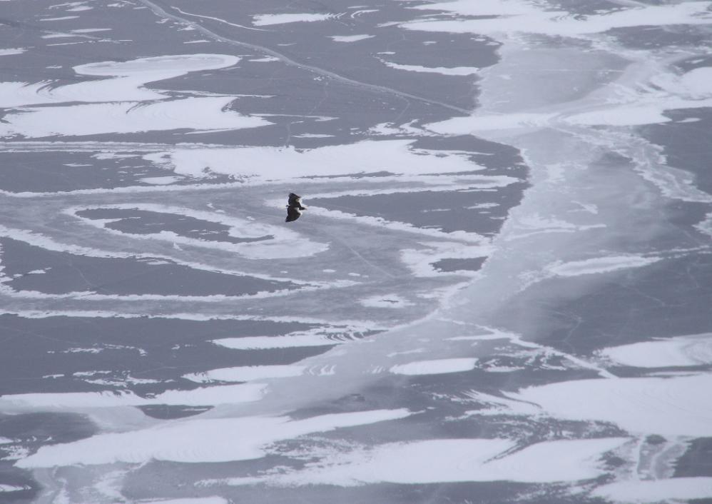 摩周湖のオオワシ