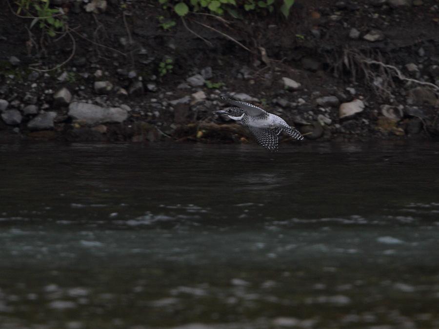2012 6 14 ヤマセミ10