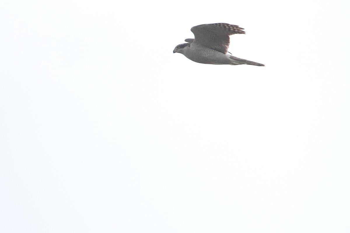 飛び1オオタカ