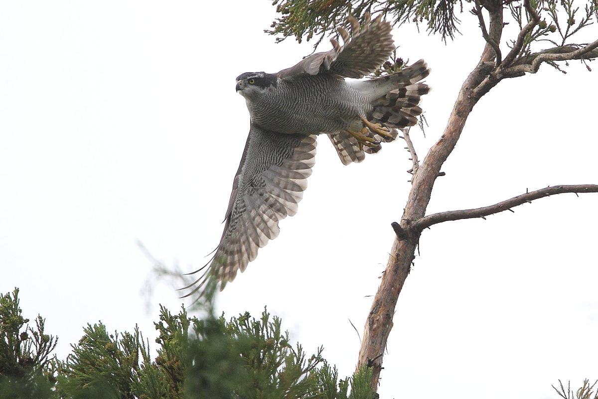 飛び出し2オオタカ