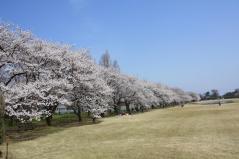 桜並木全体_convert_20130405145612