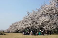 桜並木お弁当_convert_20130405145537