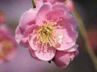 八重枝垂れ梅