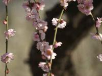 藤牡丹枝垂れ (2)