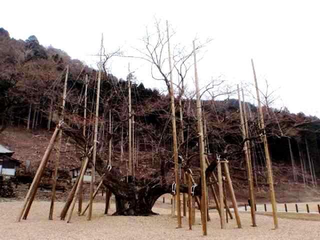 2013年3月25日現在の淡隅桜