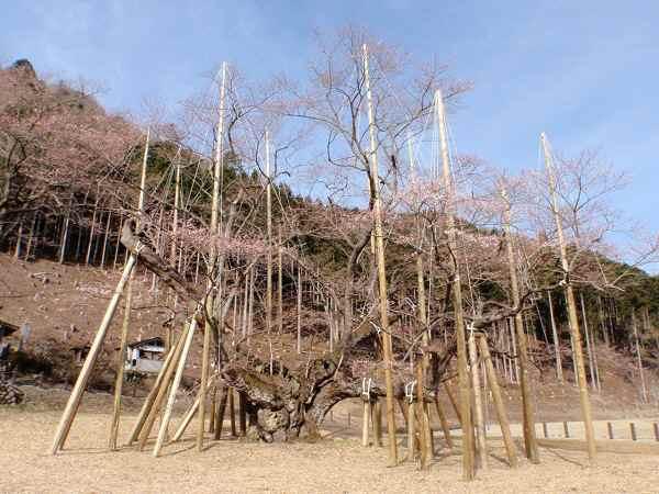 4月1日現在淡墨桜開花