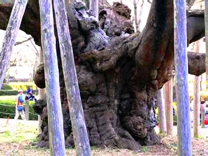 淡墨桜巨大な幹