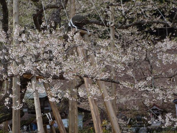 0411淡墨桜の淡墨色