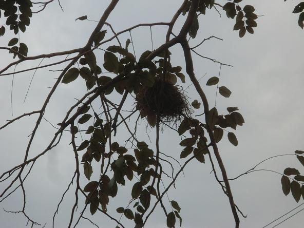 1  12.3.18木の上の鳥の巣 (1)