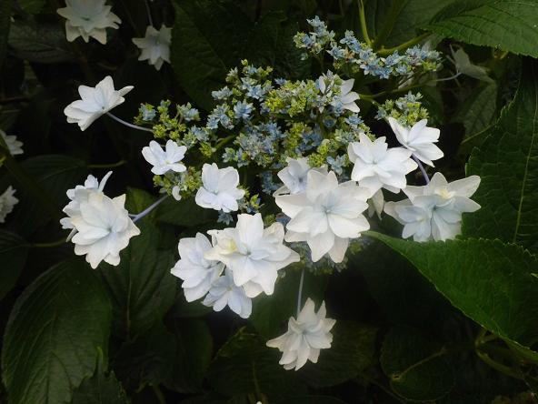 4 12.6.21コガクウツギあじさいの氷川神社 (99)