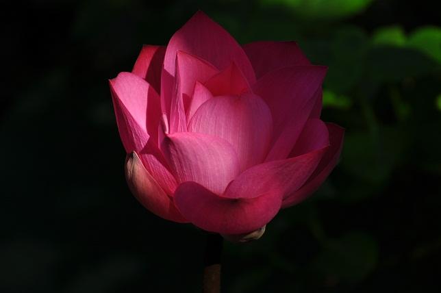 植物園の蓮(1)