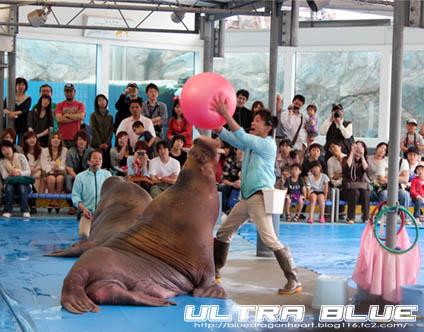 20120429_鳥羽水族館_セイウチのパフォーマンス笑