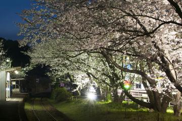 浦ノ崎駅の桜2013(3)