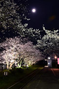 浦ノ崎駅の桜2013(7)