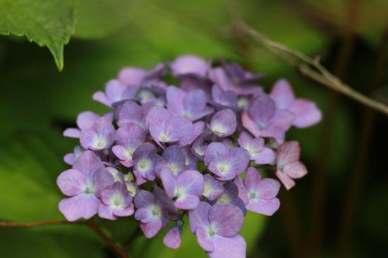 庭・紫陽花2
