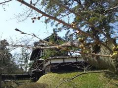 桜4.20_500