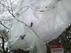 実験桜22_500