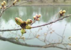 弘前公園桜4.22 (1)_500