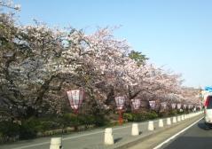 桜4.28_500