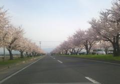 弘前公園桜4.30_500