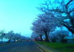 弘前公園桜4.30 (4)_500