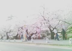 弘前公園桜4.30 (1)_500
