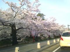 弘前公園桜_500