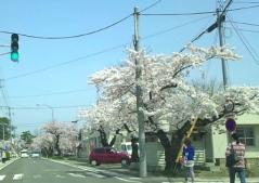 芦野公園桜2_500