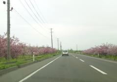桃並木1_500