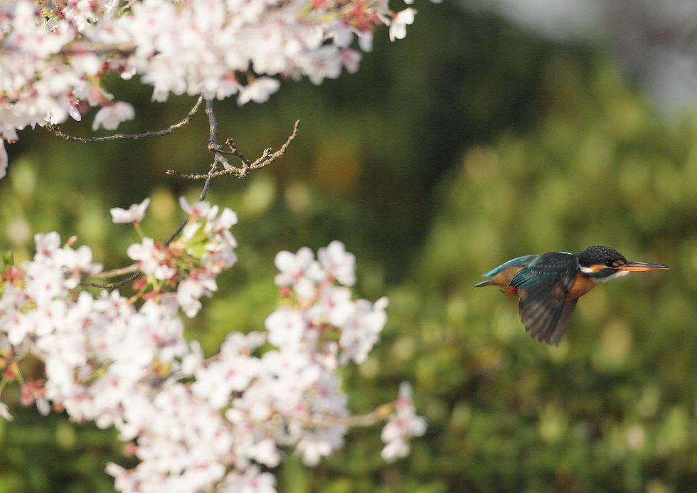桜+カワセミ1