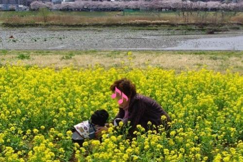 120407菜の花摘み