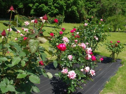 120523薔薇。。
