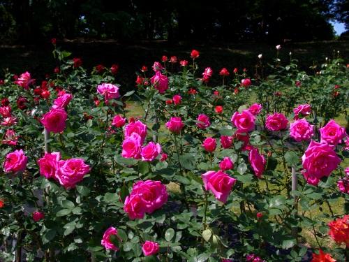 120523薔薇。