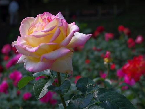 120523薔薇